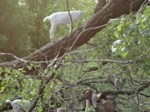 goat climbing tree
