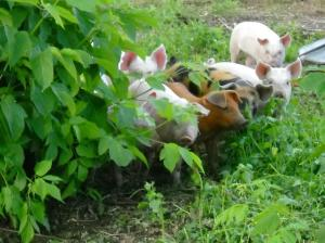 pigs foraging outside